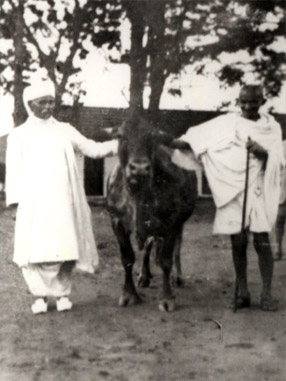 Wonder Cow and Kamdhenu